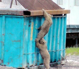 bears in a dumpster