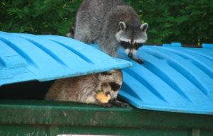 raccoons in trash